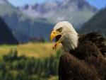 Águila con el pico abierto