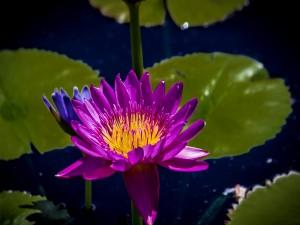 Lirio de agua color púrpura