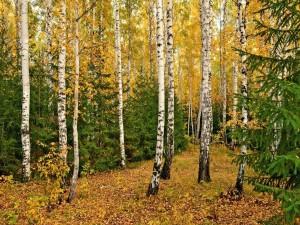 Bosque de abedules en otoño