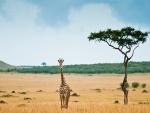 Una joven jirafa