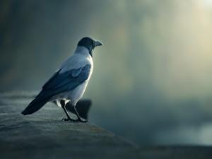 Un bonito cuervo