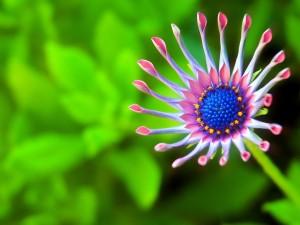 Curiosa flor