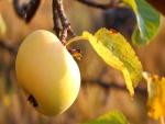 Manzana amarilla en la rama de un manzano