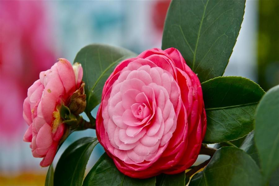 Camelias color rosa en la planta