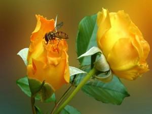 Abeja posada en un rosa amarilla