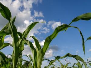 Hojas de maíz verde