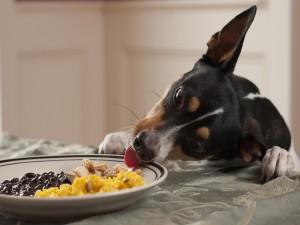 Perro tratando de comer en un plato