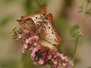 Pareja de mariposas sobre una rama con flores rosas