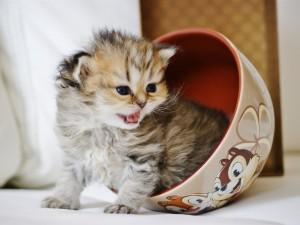 Gatito dentro de un tazón