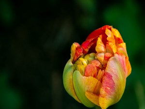 Bello tulipán en primavera
