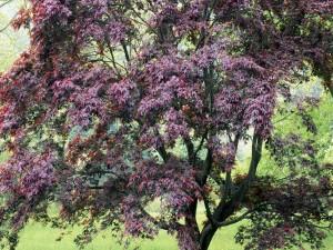 Un bonito árbol con hojas burdeos
