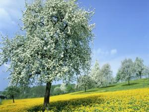 Árboles en flor sobre un campo de flores amarillas