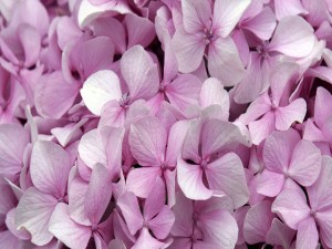 Pequeñas flores de hortensia