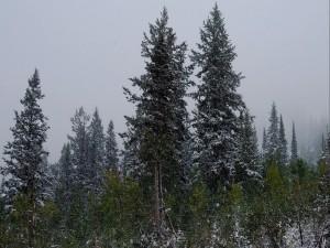 Copos de nieve sobre los pinos