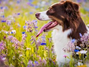 Perro pastor australiano en un prado con flores