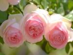 Tres bellas rosas de color rosa