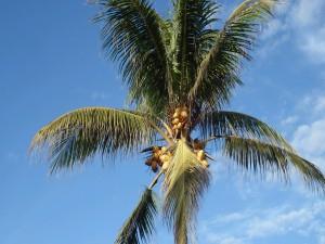Cocos creciendo en una palmera