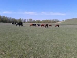 Vacas comiendo pasto en el campo
