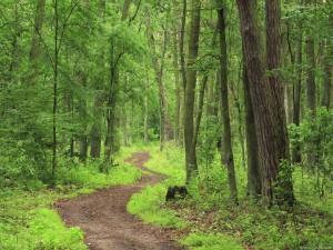 Camino en el verde bosque
