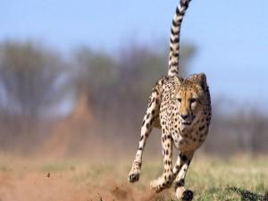 Guepardo cazando
