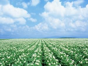 Un gran campo con flores blancas