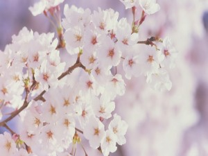 Rama repleta de flores blancas