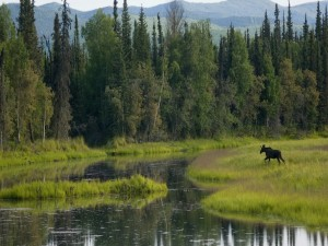 Alce corriendo hacia el río