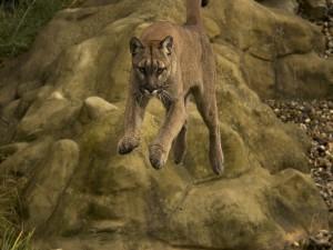 Hermoso puma saltando sobre las rocas