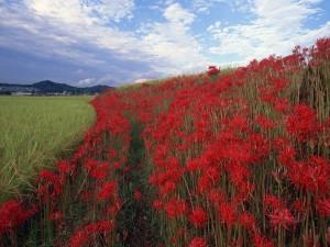 Flores rojas en el campo