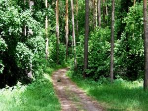 Camino entre los árboles del bosque