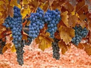 Racimos de uvas negras cuelgan de la vid