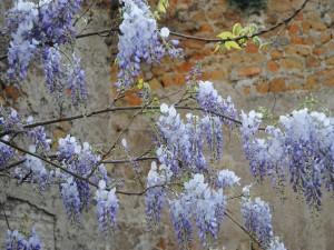 Glicinas color púrpura en las ramas