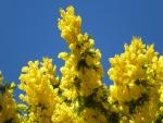 Árboles de mimosa amarilla