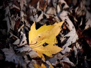 Hoja amarilla sobre unas hojas secas