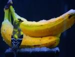 Pájaro junto a unas bananas congeladas