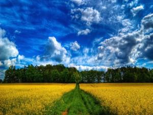 Camino verde entre un campo amarillo