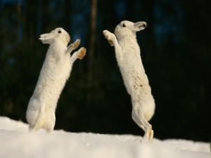 Dos liebres en la nieve