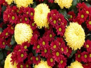 Crisantemos amarillos y margaritas rojas
