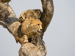 Guepardo sobre un árbol mirando con atención