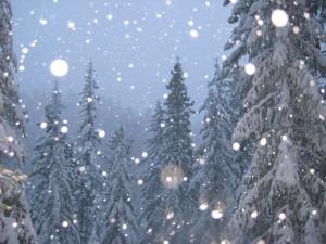 Copos de nieve cayendo sobre los pinos
