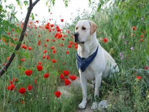 Labrador retriever entre amapolas rojas