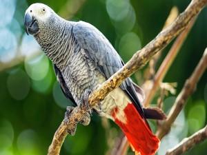 Loro gris africano sobre una rama
