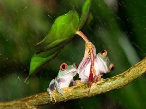 Dos ranas se protegen de la lluvia bajo una hoja