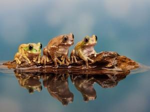 Tres ranas sentadas en una roca