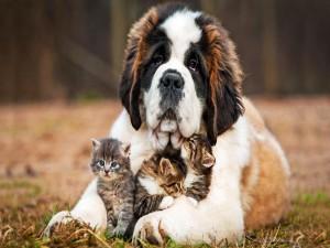 San bernardo cuidando de unos gatitos