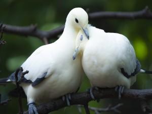 Una pareja de palomas blancas sobre una rama