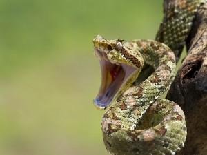 Serpiente al ataque