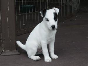 Bonito cachorro blanco con manchas negras