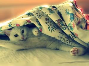 Un gato blanco bajo la sábana