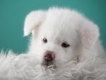 Hermoso perrito blanco